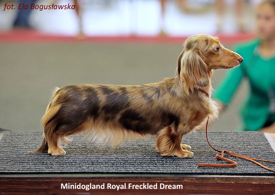 Minidogland Royal Freckled Dream 2