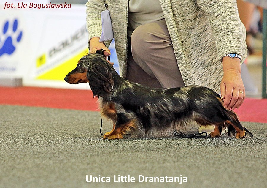 jamniczka Unica Little Dranatanja