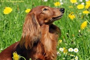 Pies - jamnik długowłosy