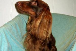 jamnik długowłosy